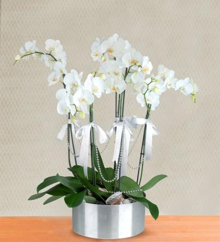 Beyaz Orkide 4