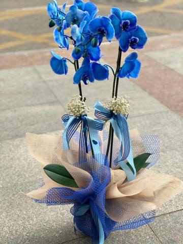 Mavi Orkide 1