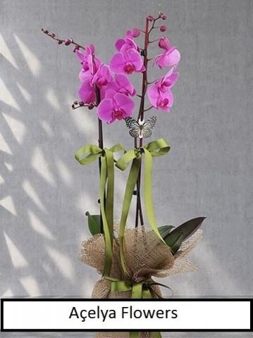 Fuşya Çift Dal Orkide