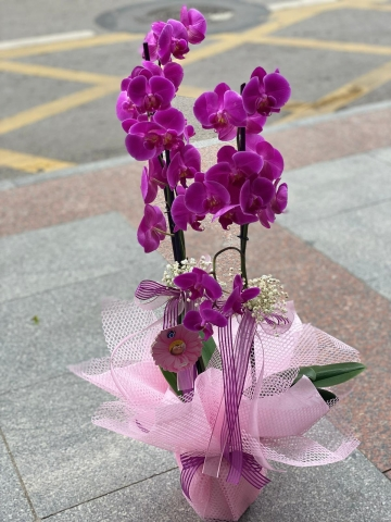 3 Dallı Fuşya Orkide