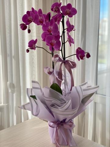 Fuşya Çift Dal Orkide 1