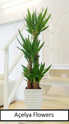 3 lü Yucca Bitki