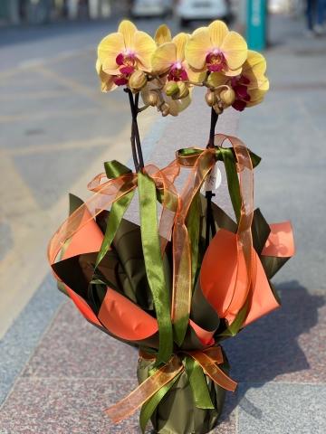 Sarı Orkide 1