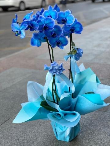 Mavi Orkide 2