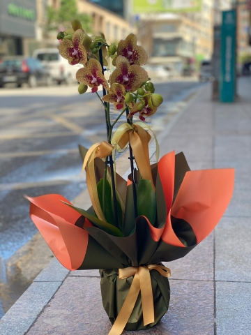 Dalmaçyalı Sarı orkide